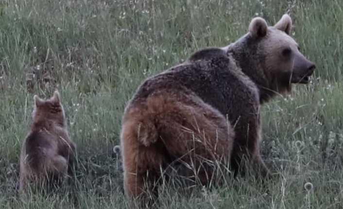 Erzincan'da ayılar böyle görüntülendi