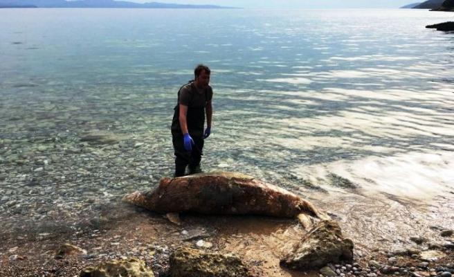 Ölü Akdeniz foku kıyıya vurdu
