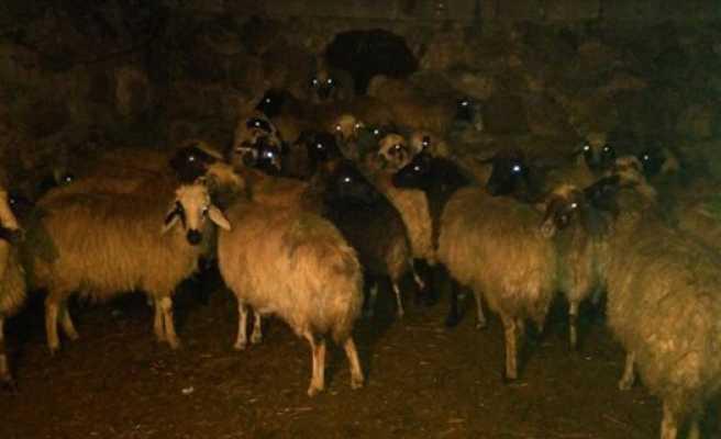 Çalınan koyunlar 28 gün sonra bulundu
