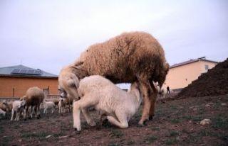 Kuzuların koyunlara kavuşma anı renkli görüntüler...