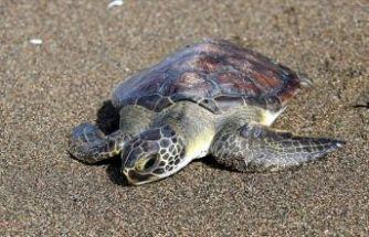 Yeşil deniz kaplumbağasına hayat veren müdahale